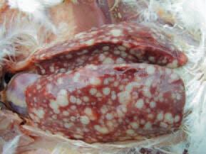 Avian Leukosis1