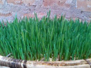 IMG 20150301 WA0008 300x225 Uandaaji wa chakula cha mifugo kwa njia ya hydroponics fodder