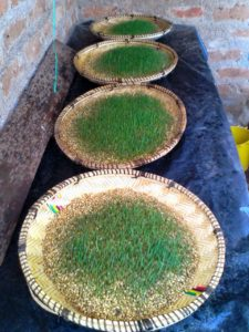 IMG 20150305 WA0001 225x300 Uandaaji wa chakula cha mifugo kwa njia ya hydroponics fodder