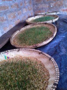 IMG 20150227 175532 225x300 Uandaaji wa chakula cha mifugo kwa njia ya hydroponics fodder