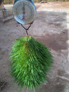 IMG 20150305 102049 225x300 Uandaaji wa chakula cha mifugo kwa njia ya hydroponics fodder