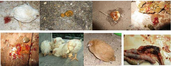 Kuharisha damu kwa kuku (coccidiosis):
